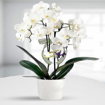 Beyaz Orkidenin Anlamı