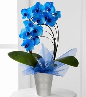 Mavi Orkidenin Anlamı