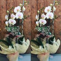 Açık Pembe Orkide 2'li